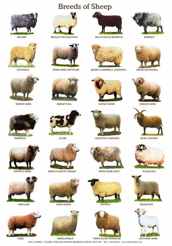 A4 Laminated Posters. Breeds of Cattle Sheep by PaulChapmanFineArt