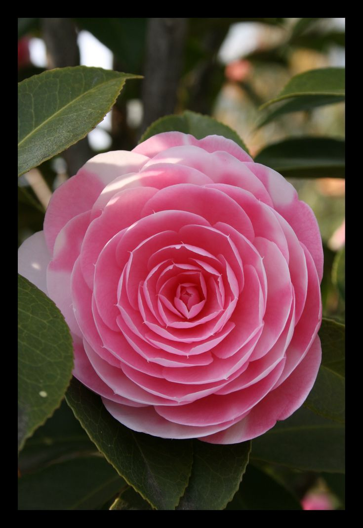 1000 Images About Camelia On Pinterest Wisteria Flower And Centerpieces