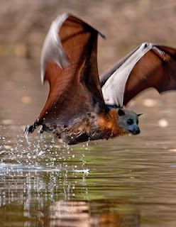 Flying Fox Bat, also known as the Fruit Bat, is the largest bat in the world with a wingspan of upto 1.5 metres.