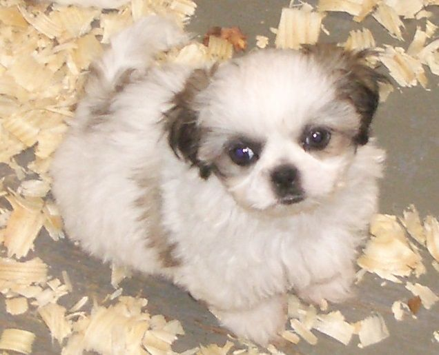 Shih Tzu Puppy For Sale In Carrollton Ga Usa Adn 84396 On
