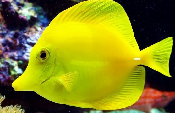The Yellow Tang Fish Is Also Known As Yellow Sailfin Tang