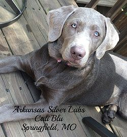 Silver Labs for Sale   Where are they now?