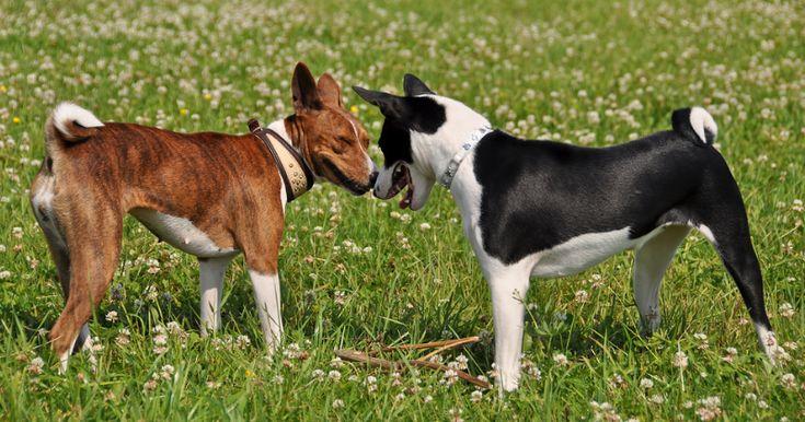 Pour le bon équilibre de votre chien, il est primordial de lui faire rencontrer ses congénères. En effet, votre chien a besoin, dès tout petit, de rencontrer d'autres chiens, qu'ils soient petits ou grands. Moins votre chiot verra d'autre chien, plus il adoptera des comportements gênants à l'âge adulte car il aura oublié l'apprentissage des codes canins acquis lors de son développement.