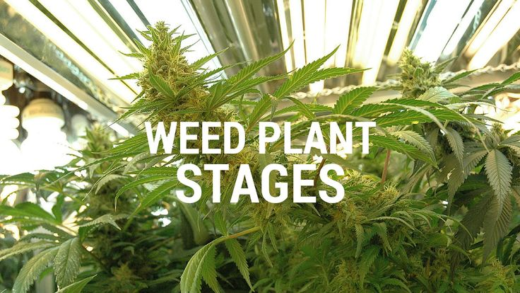 1000+ ideas about Weed Plants on Pinterest | Weed, Medical ...