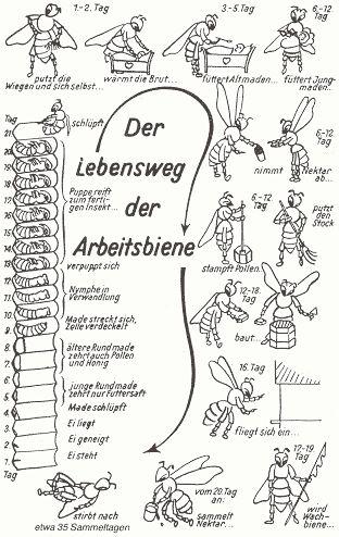 Bienen - Imker - Bienenkönigin - Drohn - Arbeitsbiene - Honig