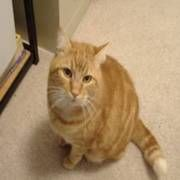 Thinking about getting a cat.....Top Hypoallergenic Cat Breeds for People with Allergies