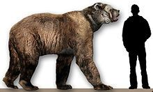 Arctodus simus (the short-faced bear) first appeared during the middle Pleistocene in North America, about 800,000 years ago, ranging from Alaska to Mississippi. The wikipedia article has an interesting discussion of its predatory strategies, over which there is considerable disagreement among paleontologists.
