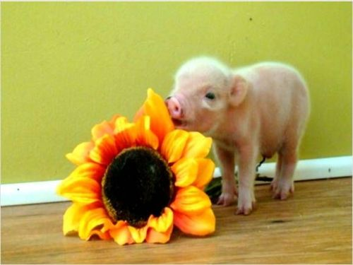 Teacup pig! I have a new obsession! I want this little guy!!! Love at first sight!