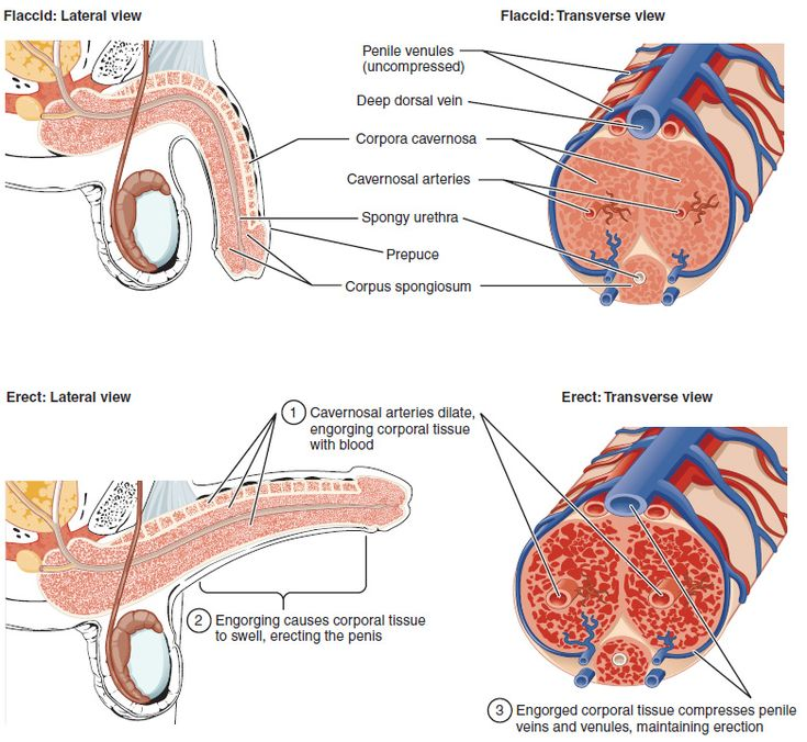 Erectile Tissue Dictionary Definition Of Erectile Tissue Www