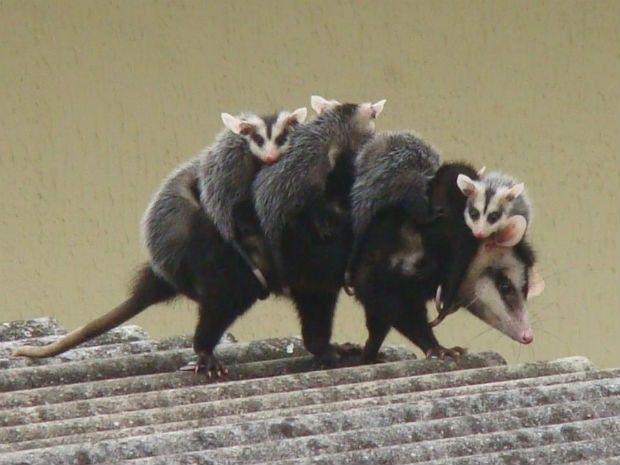 Filhotes de gambá foram flagrados se equilibrando em cima de telhado (Foto: Tatiane Barbosa)