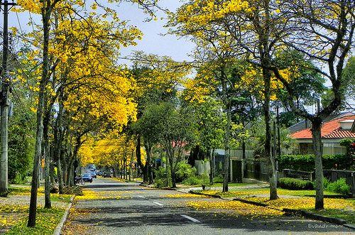 Ipê-amarelo - Curitiba - Brasil