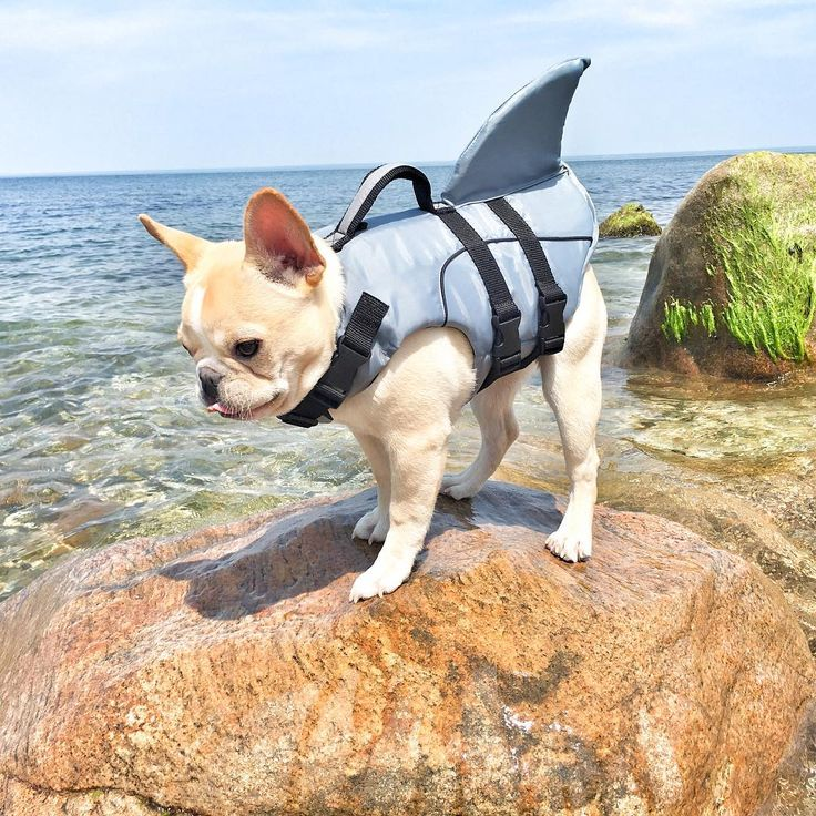 """""""JAWS... I mean... PAWS"""", French Bulldog at the Beach."""