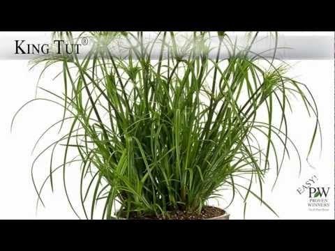 Graceful Grasses® King Tut® - Egyptian Papyrus - Cyperus papyrus | Proven Winners
