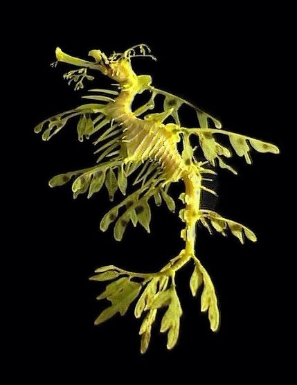 leafy sea dragon --- my favorite type of seahorse!