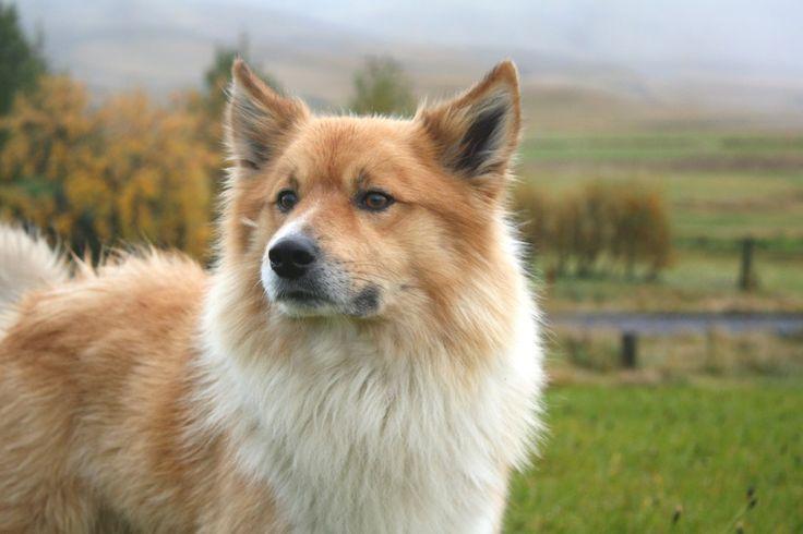 Islandhund http://fc-foto.de/26054223