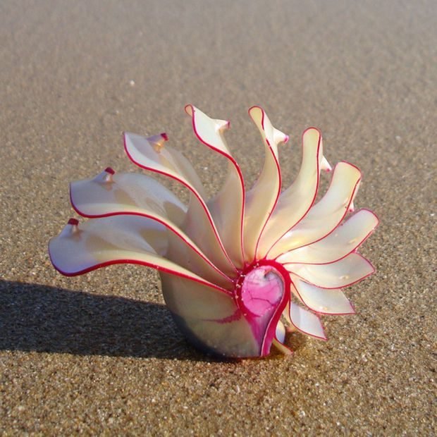 1PCS 4-6cm Rose Nautilus Pearly Nautilus Shellwork Natural Conch Shell Decoration Decoration Crafts Natural Crafts