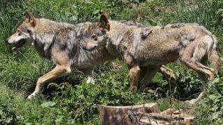 News24 News: France to let wolf population grow despite farmers...