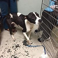 Pictures of Misty a Boxer/Pit Bull Terrier Mix for adoption in New York, NY who needs a loving home.