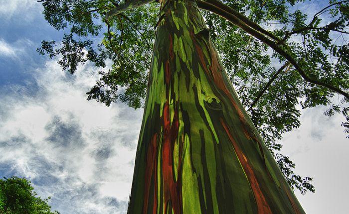 El Eucalipto arcoíris, el árbol con más colorido delmundo