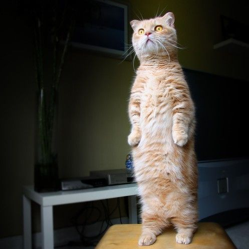 The real life Puss in Boots is named Beibei, a cream tabby Munchkin who loves to stand up to survey the area. His innocent look is shockingly similar to the one Puss in Boots from the hit animation Shrek. Beibei's owner, Jimmy Leo, has taken numerous pictures of this beautiful little guy.