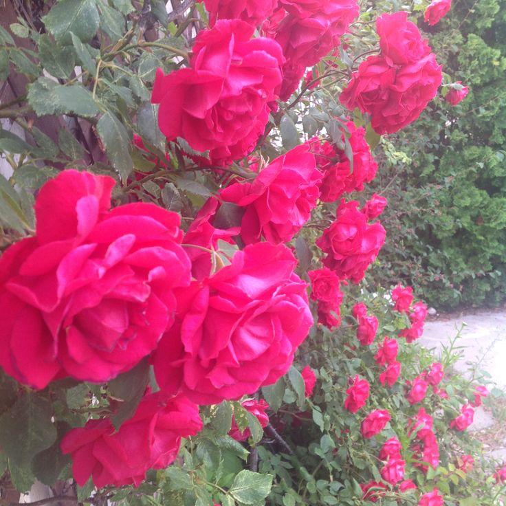Karen Lee Edwards Studio®; Karen Lee Edwards; Roses 006©; 2015