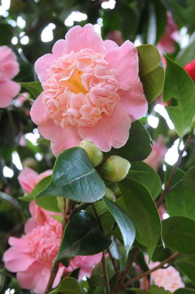 Southern pink camellias