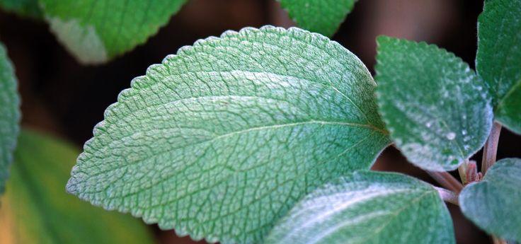 Rýmovník je neocenitelná rostlina