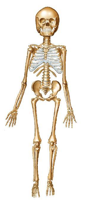 Best 25+ Human skeleton labeled ideas on Pinterest | Human ...