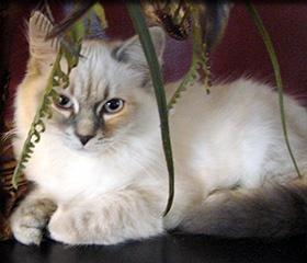 Croshka Siberian Cat Website - Reputable cat breeders of Rare Siberian Cats - Kittens for Sale!