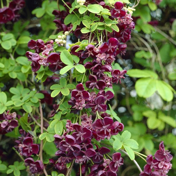 akebia quinata the chocolate bush botanical pinterest climbers dark purple flowers and. Black Bedroom Furniture Sets. Home Design Ideas