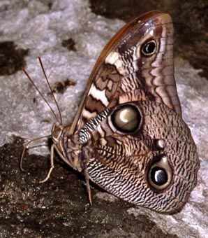 This female Opsiphanes butterfly was photographed Nov. 11, 2002, in Sonora, Mexico. Photo by Doug Danforth