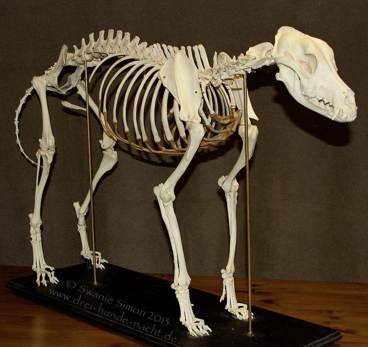 Скелет собаки фотографии