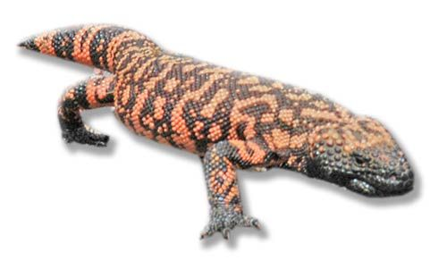 Heloderma suspectum (reticulate) resides primarily in the Sonoran and Chihuahuan deserts. Adults are mottled and blotched. The Gila monster is a stout-bodied lizard that grows 18 to 24 inches in length. It has black, orange, pink or yellow broken blotches, bars and spots, with bands extending onto its blunt tail. Its face is black, and it has small, bead-like scales across its back.  The Gila monster is one of only two species of venomous lizards; both are of the family Helodermatidae .