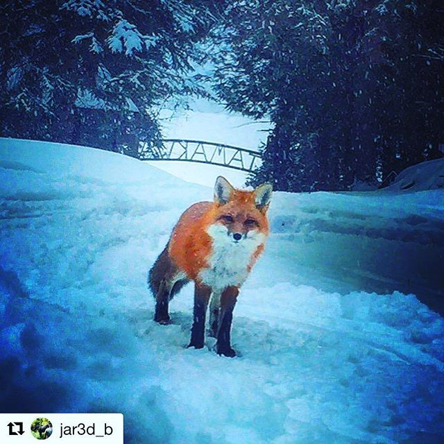 What does the fox say??? 🦊🦊🦊 #Repost @jar3d_b ・・・ Tamakwas Winter Mascot. #camptamakwa #winter #mascot #outdoors #onewithnature #outdoorsman #ficklefriends #fox #foxfriend #nature #instagram #instapic #keepingitreal #natgeo #algonquinparkig #algonquinpark #ontarioparks #ontario #instanature #tamakwaspirit #tamakwa2017