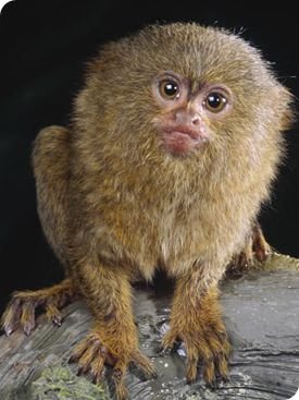 Primates for sale in uk zithromax