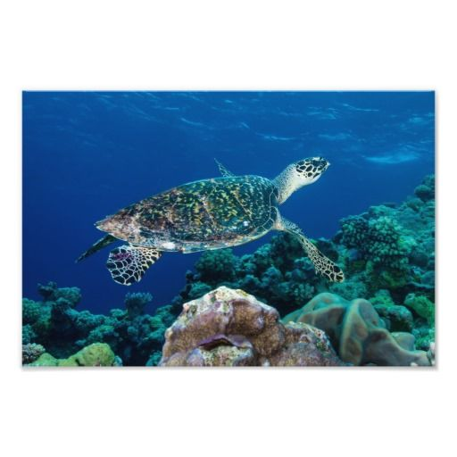 Thanks to Tanya from Aromas, CA for purchasing this photo print of a Hawksvill Sea Turtle