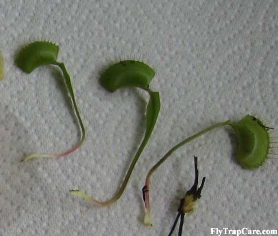 propagate venus fly trap from seeds or cuttings