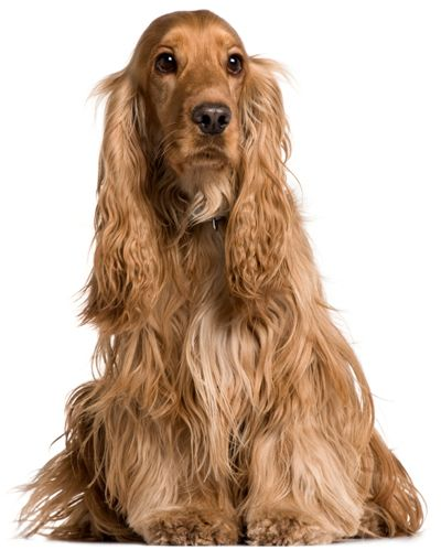 English Cocker Spaniel, English Cocker Spaniels are one of the smallest members of the gun dog family. The Cocker Spaniel is lively, happy, perky and upbeat.