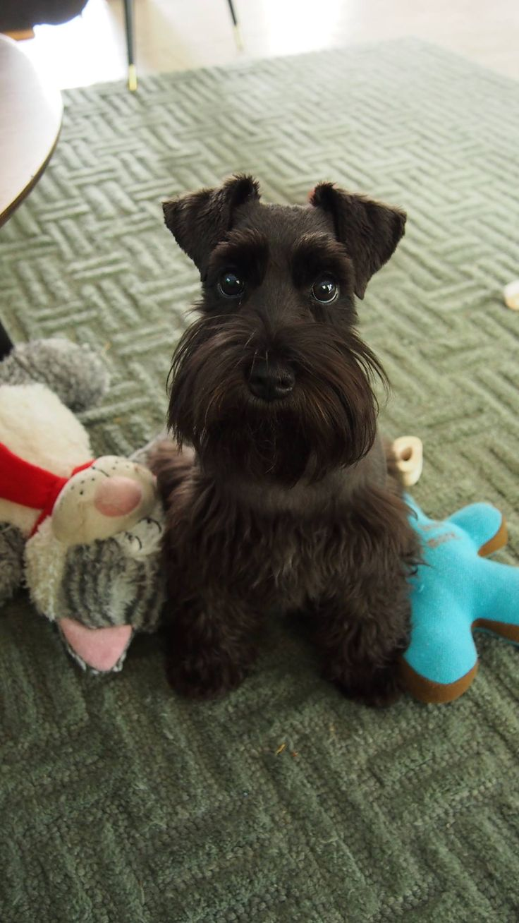 New | A community of Schnauzer lovers!...he must be staring at a Sausage ❤️