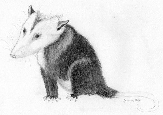 how to draw a cartoon possum