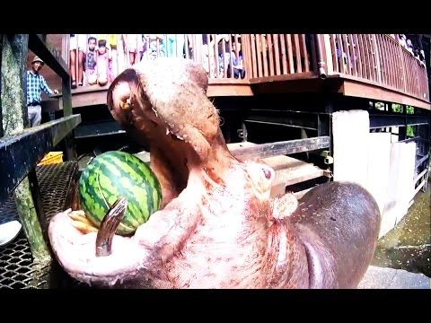 Hippo Eating Watermelons / Feeding hippo / Funny videos - YouTube