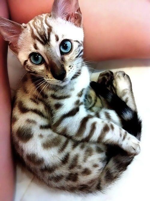 total awww factor. Gorgeous ocicat cat
