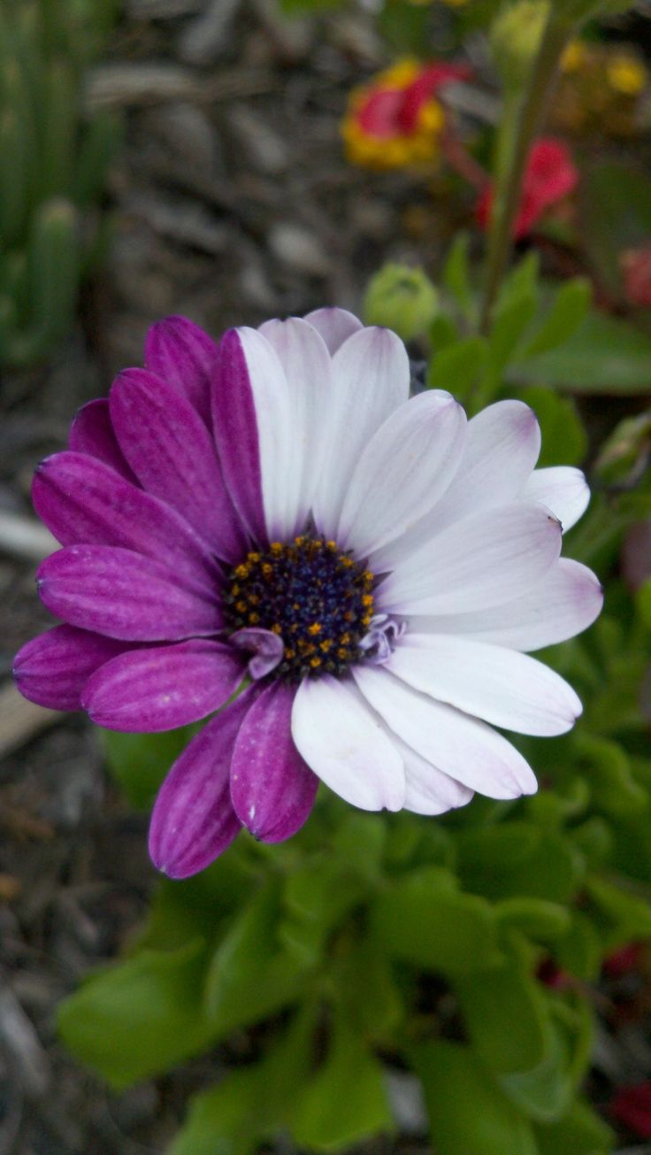 119 best daisies images on pinterest margarita flower beautiful on the left were purple flowers and on the right were white flowers izmirmasajfo Image collections