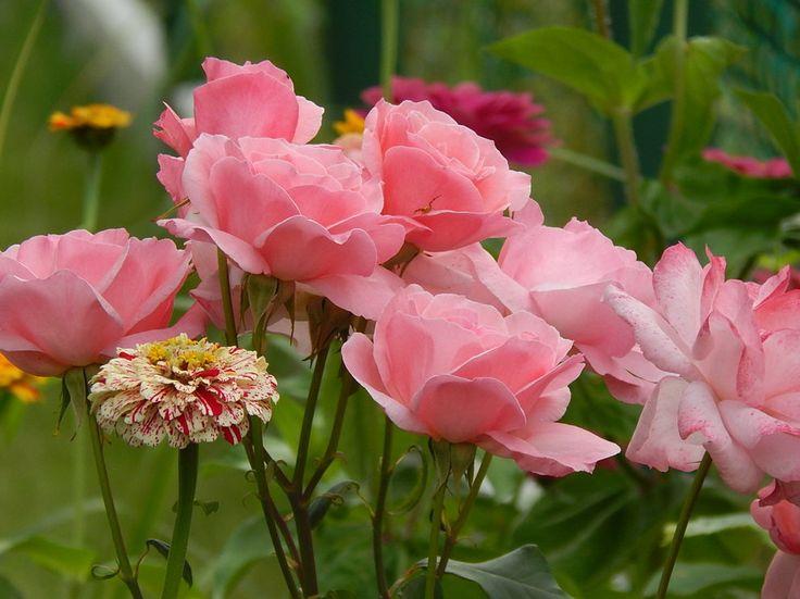 Rośliny i ogród, ZATRZYMAĆ LATO... - Na maxa korzystam z letniego słońca.Pogoda sprzyja,kwiaty pięknie kwitną.Moje cynie szaleją...Wybiły się ponad płot,mają już co najmniej...