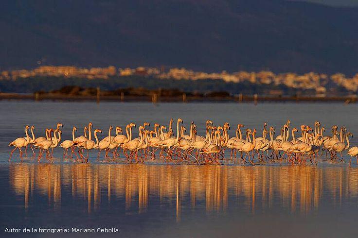Pink flamingos in Ebro Delta, southern Catalonia, by photographer Mariano Cebolla