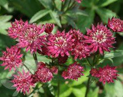 Astrantia major 'Claret' - Plants - gardenersworld.com  for shade/under the beach tree