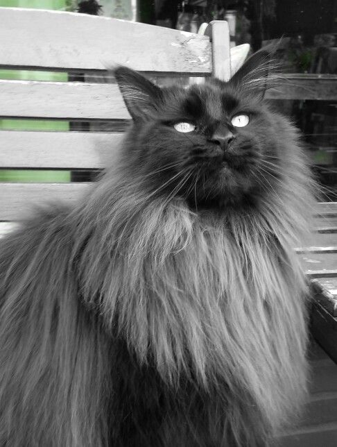 Maine Coon cats can reach upwards of 30 lbs.!