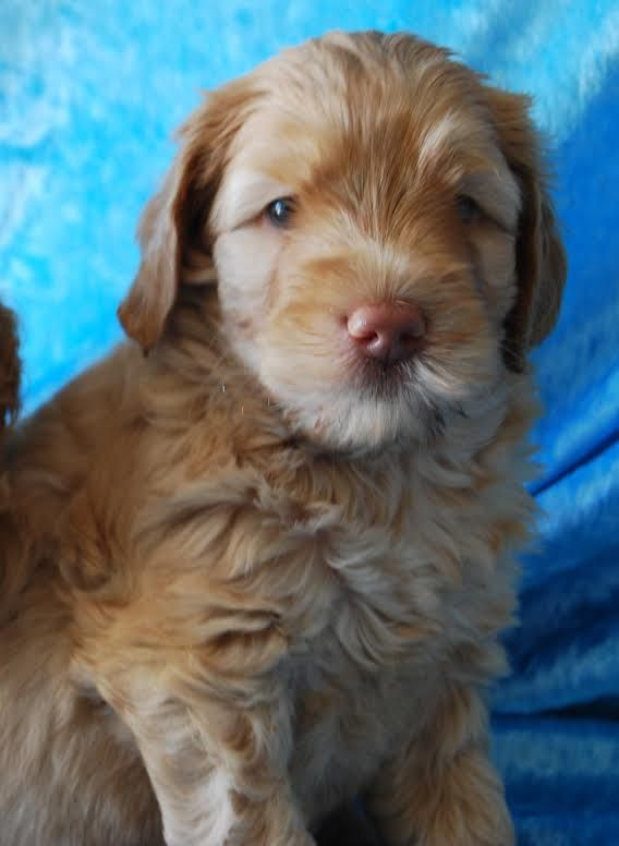 Meet soon to become Taloodle Wagner!