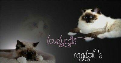 Unsere Website  www.lovelycats-ragdolls.de