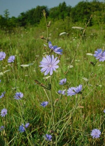 """Chicory flowers always make me happy. The flowers are edible (cute in salads or candied on deserts), as well as the leaves which are not bitter. Roast & grind the root for """"coffee""""."""